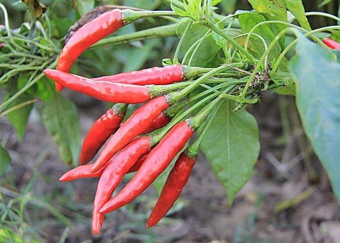 辣椒施肥的几个关键点