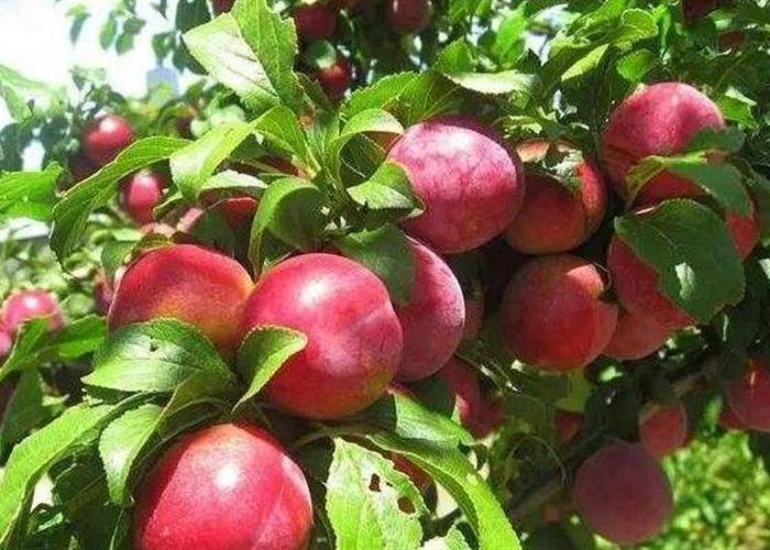 种植高产油桃的施肥管理技术