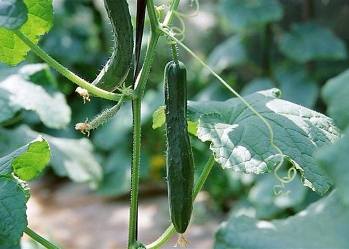 蔬菜全程绿色高效技术要点